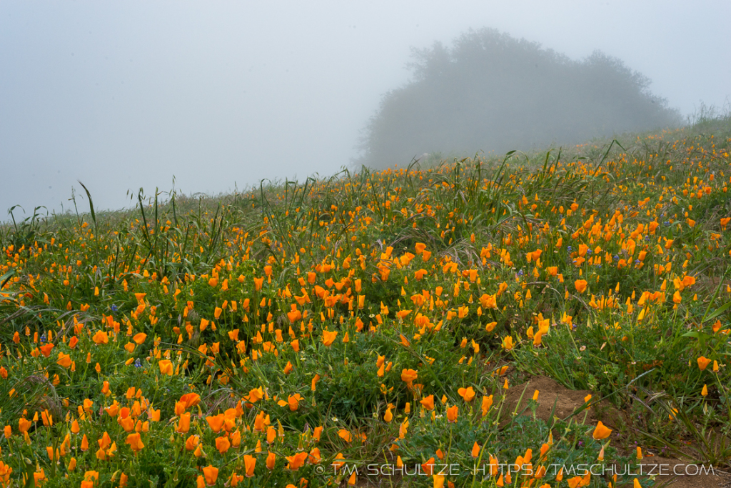 Volcan Mountain Poppies